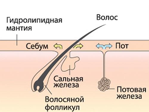 что такое гидролипидная мантия