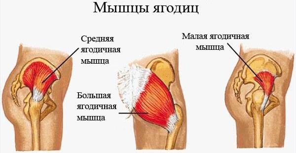 мышцы ягодиц