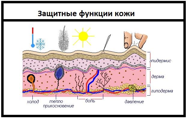 защитные функции кожи