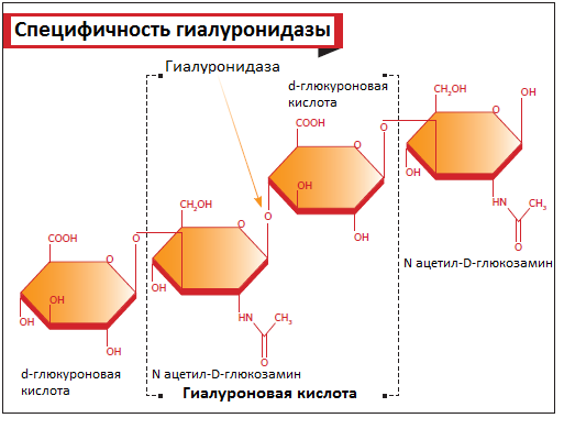 схема механизма действия гиалуронидазы